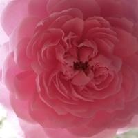 先日。間違って バラの蕾をカット✂️しち...