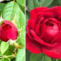 真っ赤なミニ薔薇🌹綺麗に咲きました😍