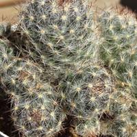 もりもりした松霞 Mammillaria prolifera