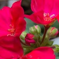 🎼ゼラニウム 《栞》 🔖ゼラニウムの花は...