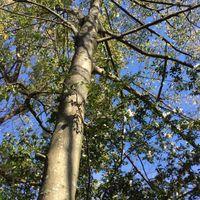 タマミズキという結構大きな木にサザン...