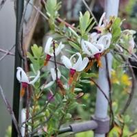 クランベリー(つるこけもも)の花。 小さ...