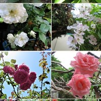 白い花の四コマ写真 上📷左:パンジー 📷...