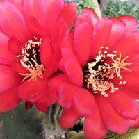 🌻サボテン美女丸(マミラリア属)の花......