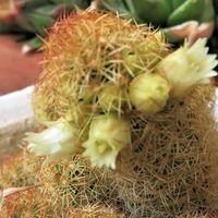 サボテン黄金司(こがねつかさ)の花