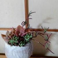 紫宝(ランプランサス属)が、ヒョロっと枯...