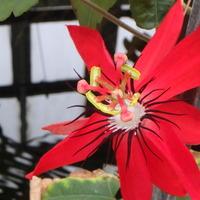 時計草 ミニアタ 夏にピッタリの赤い花...