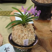 紫姫 青色のお花の富貴蘭ですね。赤・黄...