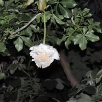 アフリカバオバブ 開花しました~。咲い...