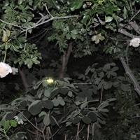 アフリカバオバブ 本日は3つお花咲きま...