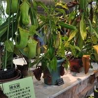 食虫植物展会場の様子です。やっぱり食...