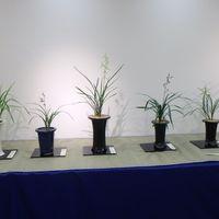 寒蘭展の様子 寒蘭が色々並んでいます。...