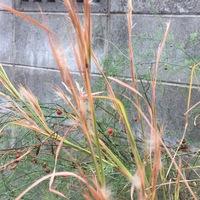 メリケンカルカヤの種。後ろはアスパラ...
