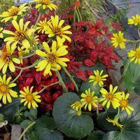 花茎を立てて秋から冬に菊に似た黄色い...