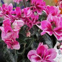 フェアリーピコシリーズの八重咲きのシ...