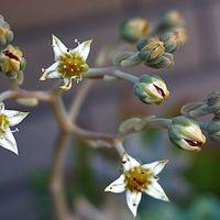 朧月のお花です  次々と蕾からお花が咲...