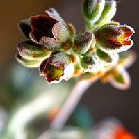 月兎耳のお花です
