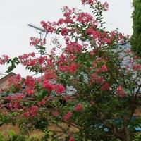 9/16 百日紅まだまだ咲いています。
