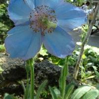 青いケシのお花✨ もう終わりかけの感じ...