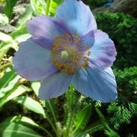 同じく青いケシさん。 やっぱり咲いてる...