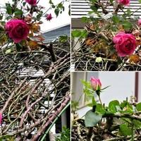 2⃣薔薇アーチの上で咲くツルバラの花コ...