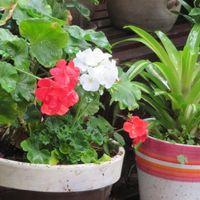 赤と白の花咲くゼラニュームとグズマニ...