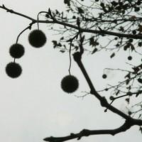 プラタナス すっかり葉は落ちて、たくさ...