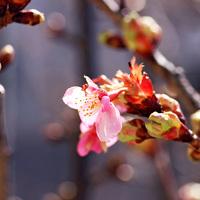今年、二品種めの桜でした!  カワヅザ...