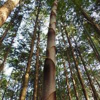 一気に成長したモウソウチク。 杉の木と...