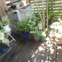 我が家の避暑地🎐 シンビジューム、シク...