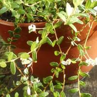 クランベリーの新芽がたくさん伸びてき...