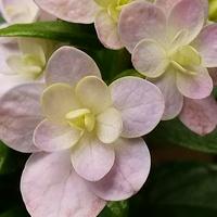 紫陽花.てまりてまり💕