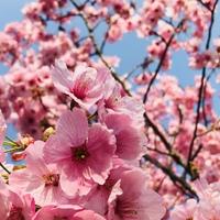 河津桜♬  たまに行く植物園でも 濃いピ...