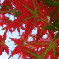 庭のモミジ 紅葉