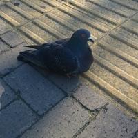 姪浜駅にいた鳩さんがリラックスしてい...
