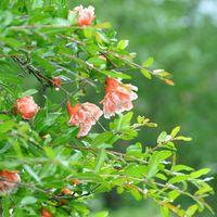 花ザクロが綺麗に咲いておりました~。...