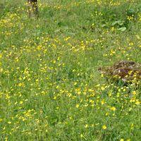 ウマノアシガタが一面咲いてました。黄...