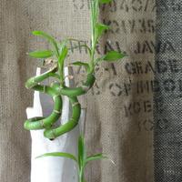 ミリオンバンプー さし芽しています。