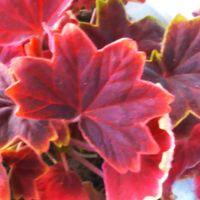 もみじ葉ゼラニウム 紅葉した見たいな葉...