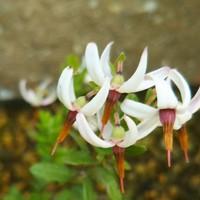 クランベリーの花です。 鉢植えでしたが...