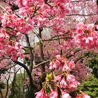 カンヒザクラ(寒緋桜) が 満開です。 ...