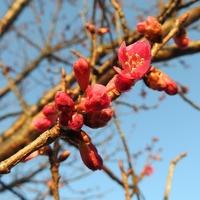 カンヒザクラ が 咲きだしました。  武...
