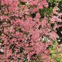カンヒザクラ(寒緋桜) が 満開です。