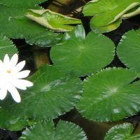 サーギャラード 純白の熱帯睡蓮も綺麗で...