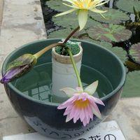 香りの良い熱帯睡蓮の切り花展示。弱っ...