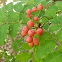 赤く熟してきた山椒の実🍒