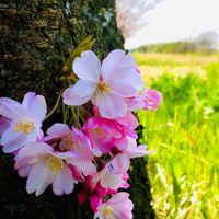 未だ、三分咲の小山の思川桜です。