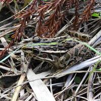 枯草の上にトノサマガエル。 背景に紛れ...