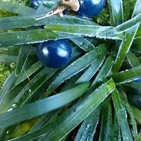 リュウノヒゲにもう綺麗なブルーの実が💕...