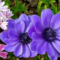 アネモネ(青)開花🌺2つ並んで。